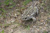 Natterjack toad Bufo calamita in grassland La Brenne France