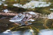 Common frog Rana temporaria pair in garden pond