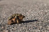 Common toad Bufo bufo pair in the middle of the road on the way to breeding pool Strathdearn Highland Region Scotland UK