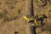 American bullfrog Lithobates catesbeianus in Grassy Lake Fundy National Park Canada August 2016