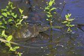 European pond terrapin Emys orbicularis Parc Naturel Regional de La Brenne France