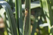 Migrant hawker Aeshna mixta resting on leeks in a garden vegetable plot Ringwood Hampshire England UK August 2016