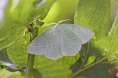 Small emerald Hemistola chrysoprasaria Hampshire England