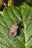 Bronze shieldbug Troilus luridus on bramble leaf Kingston Common National Nature Reserve Ringwood Hampshire England UK