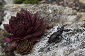 Stag beetle Lucanus cervus male on garden rockery beside houseleek plant, Ringwood, Hampshire, England, UK, June 2017