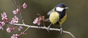 Great tit Parus major in spring blossom near Ringwood Hampshire England