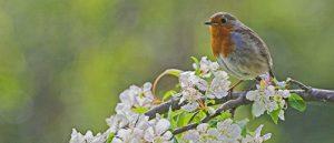 European robin Erithacus rubecula among spring blossom in a garden Ringwood Hampshire England