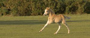 01DD0306 New Forest foal running
