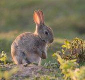 01DD0325 Young rabbit