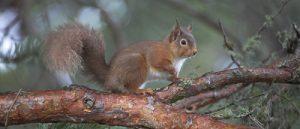 Red squirrel Sciurus vulgaris in Scots pine tree Abernethy Forest Highland Region Scotland UK
