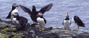 230-A-129 Puffins on cliff top