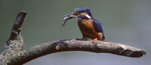 258-A-30 Kingfisher