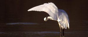 32-A-69 Little Egret preening