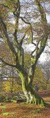 C01D0558 Beech tree in autumn