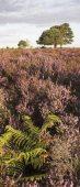 C01D1144 Heathland in bloom