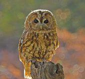 01AD1615 Tawny owl