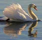 01AD3134 Mute swan reflected
