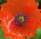 01BD0330 Common poppy