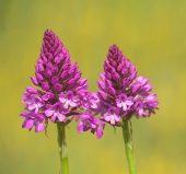 01BD0687 Pyramidal orchids