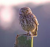 246-A-161 Little Owl