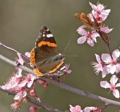 6MD00007 Red admiral
