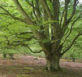 C01D1027 Beech tree in spring