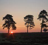C01D1205 Scots pines sunset