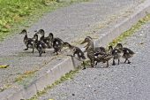 Mallard Anas platyrhynchos female and ducklings crossing road Peak District National Park Derbyshire England