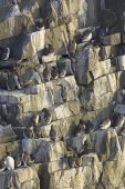 Common guillemot Uria aalge at their breeding colony Isle of May Firth of Forth Scotland