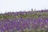 Little bustard Tetrax tetrax male amongst purple vipers bugloss in spring Alentajo region Portugal