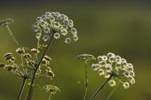 Cow parsley Anthriscus sylvestris in water meadows near Downton Wiltshire England