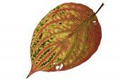 Dogwood Cornus alba leaf changing colour in autumn
