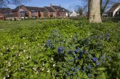 Green alkanet Pentaglottis sempervirens and Tuberous comfrey Symphytum tuberosum Bickerley Ringwood Hampshire England UK