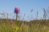 Monkey orchid Orchis simia with frost damage in meadow Vercors Regional Natural Park France