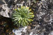 Pyrenean saxifrage Saxifraga longifolia beside the road to Gedre Ski Station Pyrenees National Park