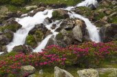 Alpenrose Rhododendron ferrugineum beside the Stream of Cot Gedre near the Cirque de Troumouse Pyrenees National Park France