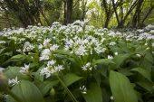 Ramsons Allium ursinum close-up Garston Wood RSPB reserve near Shaftesbury Dorset England UK
