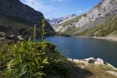 White false helleborine Veratrum album beside the Lac des Gloriettes with the Breach of Tuquerouye beyond Pyrenees National Park France July 2015