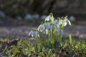Snowdrop Galanthus nivalis Blashford Lakes Nature Reserve Hampshire and Isle of Wight Wildlife Trust Reserve near Ringwood Hampshire England UK February 2016