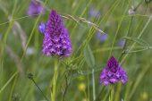 Pyramidal orchid Anacamptis pyramidalis in meadow near Beaufort-sur-Gervanne Vercors Regional Natural Park Vercors France June 2016