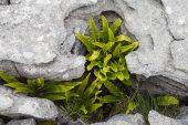 Hartstongue Asplenium scolopendrium growing amongst limestone pavement Ingleborough National Nature Reserve near Chapel le Dale Yorkshire Dales National Park Yorkshire England UK July 2016