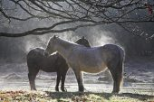 New Forest pony steaming in the early mornng sunshine Linford Bottom New Forest National Park Hampshire England