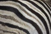Burchell's zebra Equus burchellii Umfolozi Game reserve South Africa