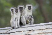 Vervet monkey Chlorocebus pygerythrus St Lucia Wetland reserve South Africa