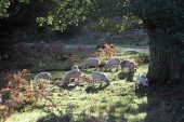 Pigs feeding on acorns during the pannage season New Forest National Park