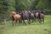 New Forest ponies being rounded up during a drift Wiers near Brockenhurst New Forest National Park