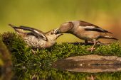 Hawfinch Coccothraustes coccothraustes female feeding young near Tiszaalpar Southern Great Plain Hungary