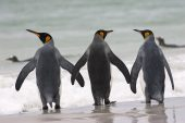 King penguin Aptenodytes patagonicus three adults about to go into the sea Volunteer Point East Falkland Falkland Islands