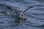 Great shearwater Puffinus gravis landing head first in the sea near Grand Manan Island Bay of Fundy Canada August 2016
