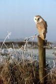 Barn owl Tyto alba on roadside fence post Avon Valley Ringwood Hampshire England UK